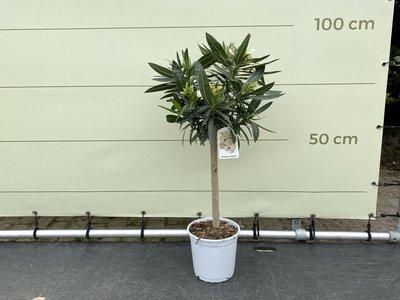 Weißer Oleander auf Stamm 80-100 cm