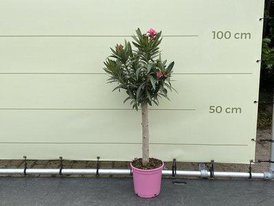 Rosa Oleander auf Stamm 80-100 cm