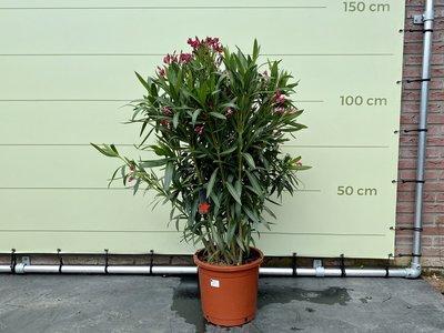 Roter Oleander - Nerium Oleander 60-80 cm