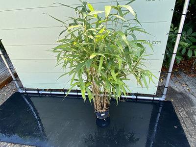 Pseudosasa Japonica - Bambus Japonica. Höhe 150 cm