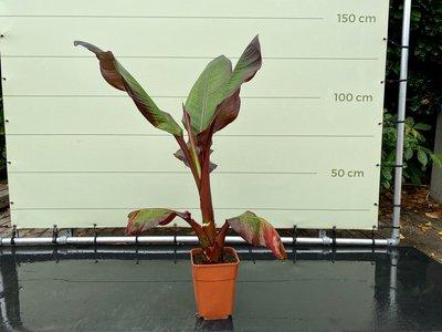 Musa Maurelli - Rote Bananenpflanze 90 cm
