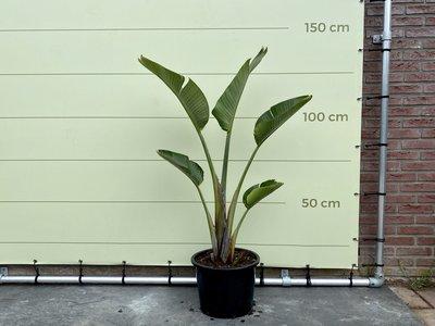 Paradiesvogelblume Augusta 140 - 170 cm
