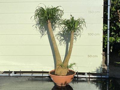 Beaucarnea Recurvata Höhe inkl. Topf 150 cm