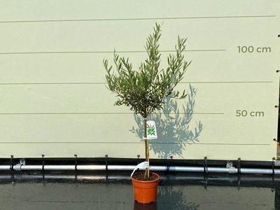 Olea Europea - Olivenbaum mit glattem Stamm, Stammumfang 4 - 6 cm