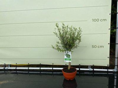 Olea Europea - Olive in kugelförmiger Form 100 cm