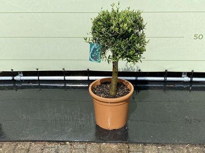 Olea Europea - Olive in kugelförmiger Form 100 cm. Stammumfang 20-25 cm.