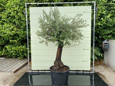 Olea Europea - Olivenbaum, Stammumfang 50-70 cm