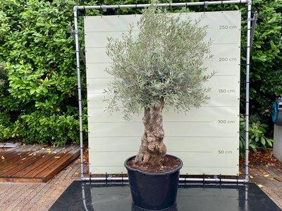 Olea Europea - Olivenbaum bonsai stammumfang 80 - 100 cm