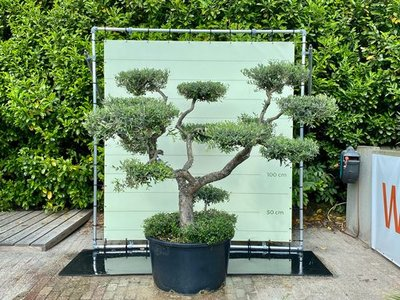 Olea Europea - Olivenbaum pon-pon, stammumfang 40 - 60 cm
