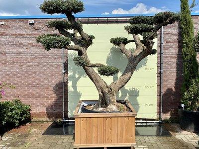 Olea Europea - Olivenbaum-Pon-pon, Stammunfang 100 - 110 cm