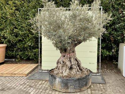 Olea Europea - Olivenbaum bonsai Stammumfang 180 - 230 cm