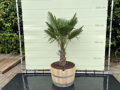 Trachycarpus fortunei  - Palme 150 cm in halb Weinfass