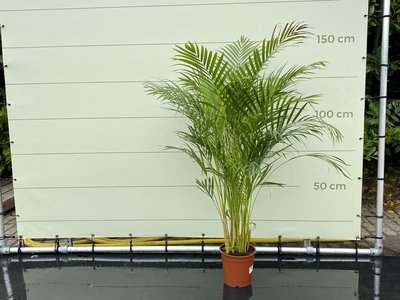 Areca palm - Goldpalme 150 cm