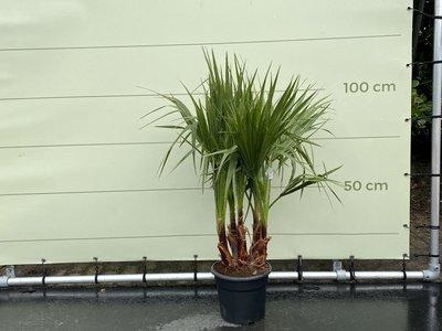 Washingtonia Robusta Multistam Stammhöhe 15-20 cm