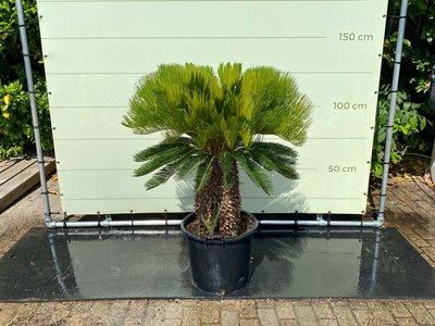 Cycas revoluta Stammhöhe 40-50 cm