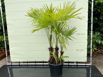 Trachycarpus Fortunei - MULTISTAM Stammhöhe 30-60 cm
