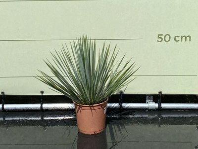 Yucca Rostrata 50 cm