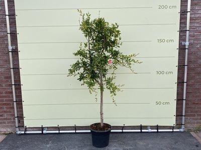 Granatapfelbaum Größe L - Stammhöhe 8-10 cm