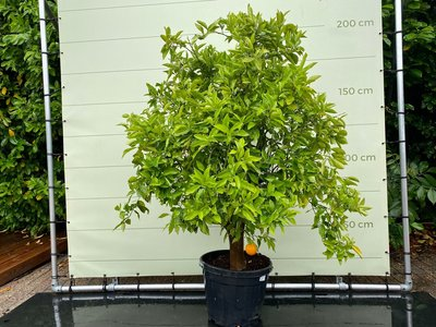 Orangenbaum Größe XXL 180 cm