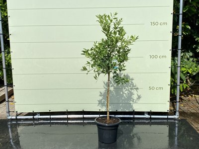 Limequat Größe L 150 cm