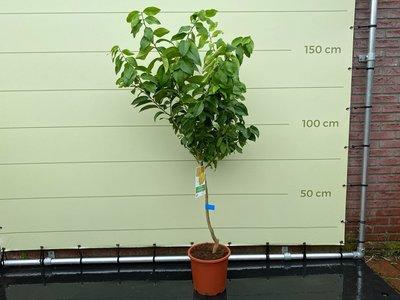 Zitronenbaum Größe L 140 cm