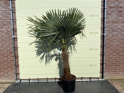 Trachycarpus Fortunei 60- 80 cm Stammhöhe