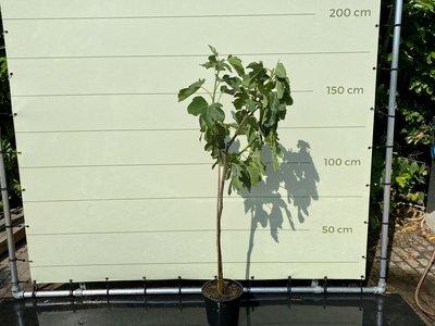 Feigenbaum - Ficus Carica 175 cm, süße dunkle Feige
