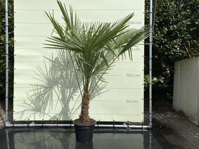 Trachycarpus Fortunei 30 - 40 cm Stammhöhe