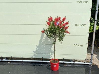 Callistemon auf Stamm 120 cm