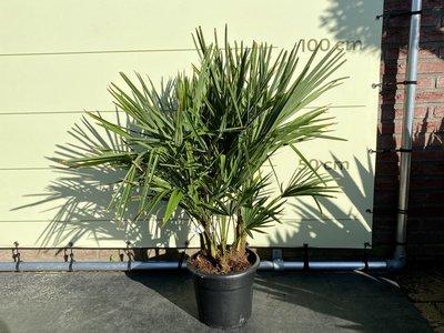 Trachycarpus Fortunei - multistamm Stammhöhe 15-20 cm