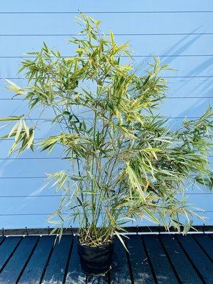 Bambus Shiroshima