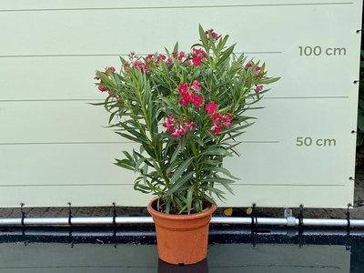 Roter Oleander - Nerium Oleander 80-100 cm