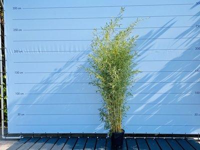 Bambus Aurea