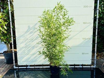Bambus Bissetii