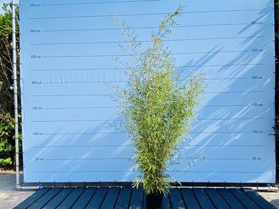 Bambus Spectabilis