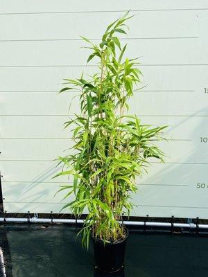 Bambus Metake