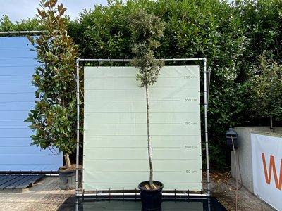 Quercus Ilex / Steeneik
