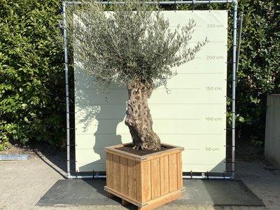 Olea Europea - Olivenbaum Bonsai, Stammumfang 80 - 100 cm im Hartholzkübel