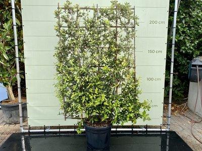 Quercus Ilex Spalier Slate-Bildschirm