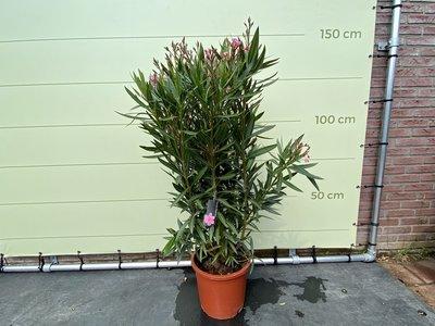 Rosa Oleander - Nerium Oleander 60-80 cm