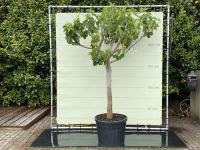 Feigenbaum - 250 cm, Stammumfang 30-40 cm mit süßer dunkler Feige