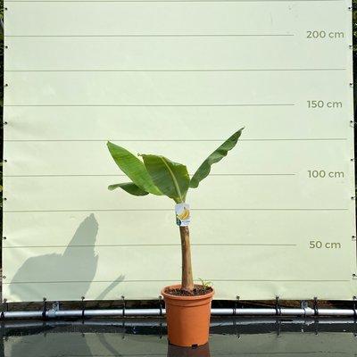 Musa Cavendish - 125 cm