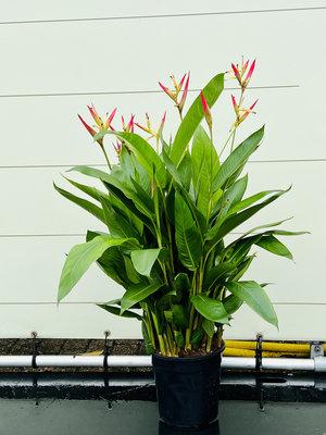Heliconia 'Hawaii'