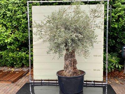 Olea Europea - Olivenbaum bonsai Stammumfang 100 - 120 cm