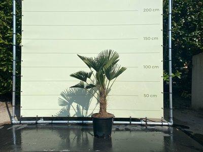 Trachycarpus Wagnerianus Stammhöhe 30 - 35 cm