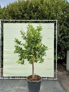 Zitronenbaummaat XL 250 cm