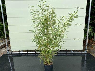 Phyllostachys Aurea - Bambus Aurea. Hohe 175 cm