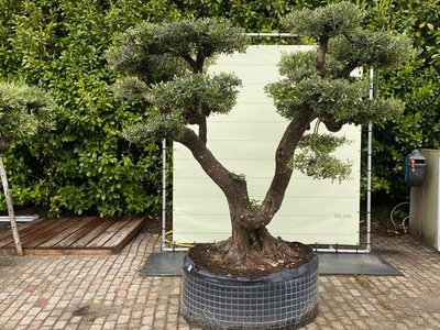 Olea Europea - Olivenbaum pon-Pon, Stammumfang 100 - 110 cm