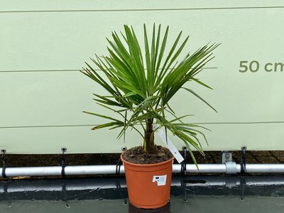 Trachycarpus Fortunei 10 cm stammhöhe