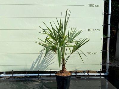 Trachycarpus Fortunei 15-20 cm Stammhöhe